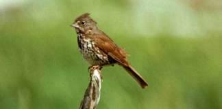 02 Fox Sparrow