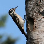 Read more about the article HAIRY WOODPECKER – Birds for Kids