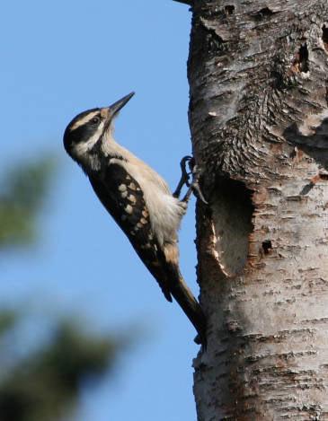 02 Hairy woodpecker