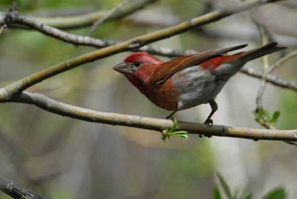 PURPLE FINCH – Birds for Kids