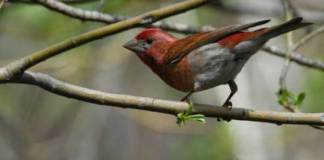 02 Purple Finch