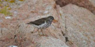 03 Birds for Kids SPOTTED SANDPIPER