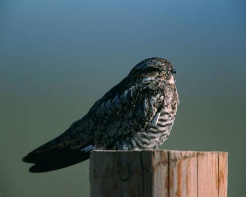 04 Common nighthawk