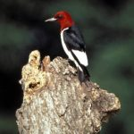 Read more about the article RED-HEADED WOODPECKER – Birds for Kids