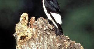 04 Redheaded woodpecker