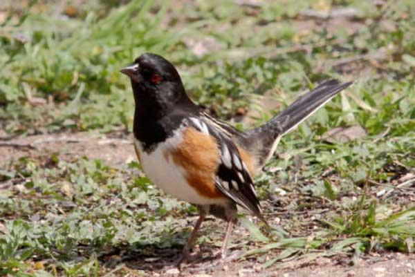 04 Towhee bird