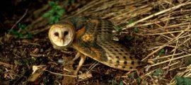 Barn Owl for kids, Monkey-faced Owl – Owls for Kids