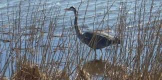 05 Great Blue Heron