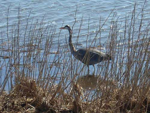05 Great Blue Heron