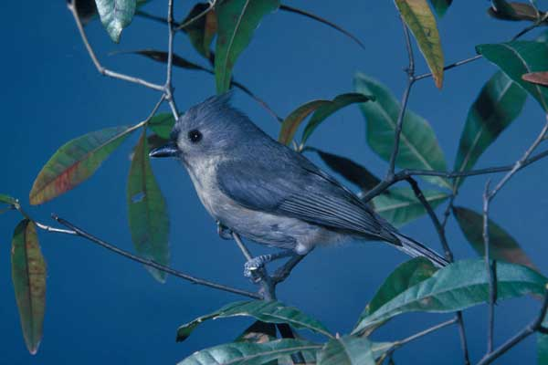TUFTED TITMOUSE – Birds for Kids