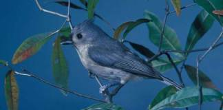 05 TUFTED TITMOUSE