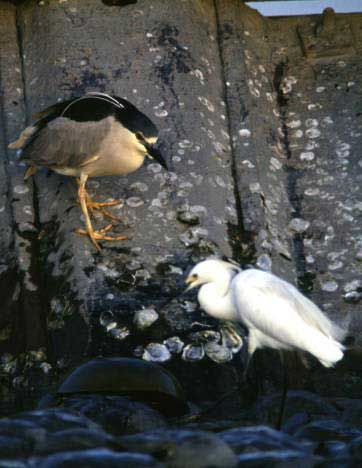 06 Black Crowned Night Heron and Snowy Egret