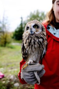 Read more about the article SHORT-EARED OWL, Marsh Owl – Owls for Kids