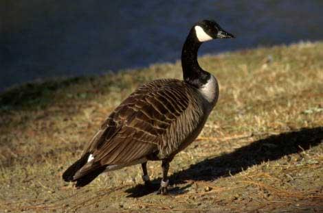 08 Canada Goose
