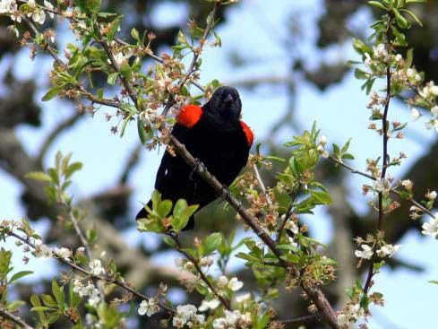 09 Redwinged blackbird