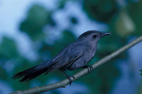 12 Catbird