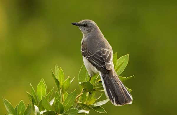 12 Northern mockingbird