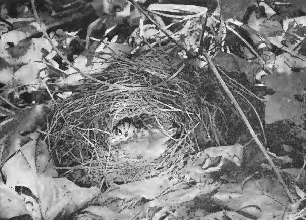 14 OVEN BIRD 01