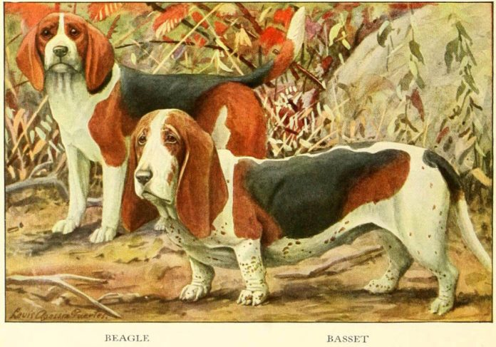 beagle basset - information about dogs