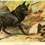 Read more about the article SCHIPPERKE DOGS – Information About Dogs
