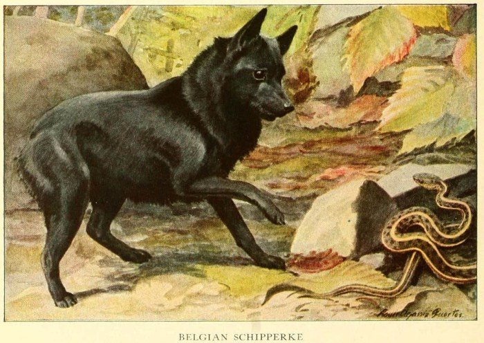 SCHIPPERKE DOGS - Information About Dogs