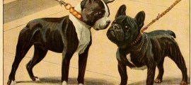 BOSTON TERRIER DOGS – Information About Dogs