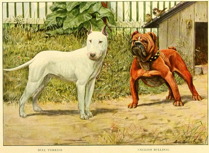 bull terrier english bulldog - information about dogs