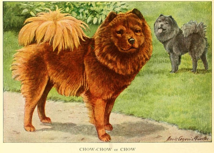 chow chow dog - information about dogs
