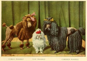 POODLE DOG BREED – Information About Dogs