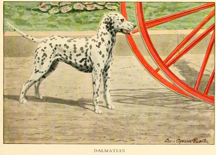 dalmatian dog - information about dogs