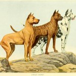 Great Dane Dog Breed – Information About Dogs