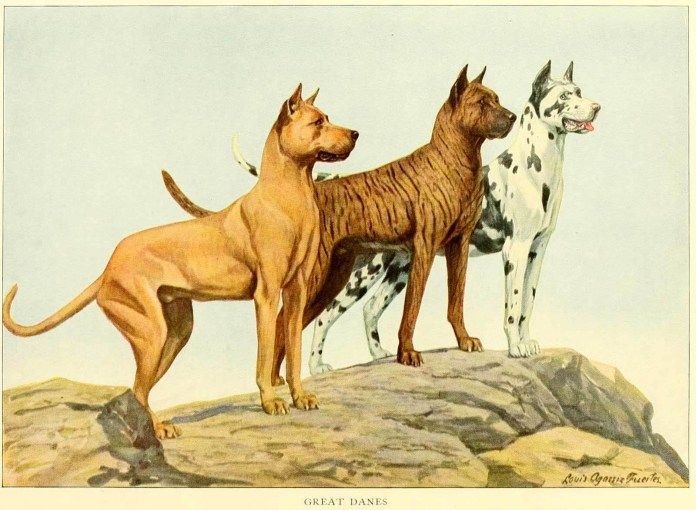 great danes - information about dogs