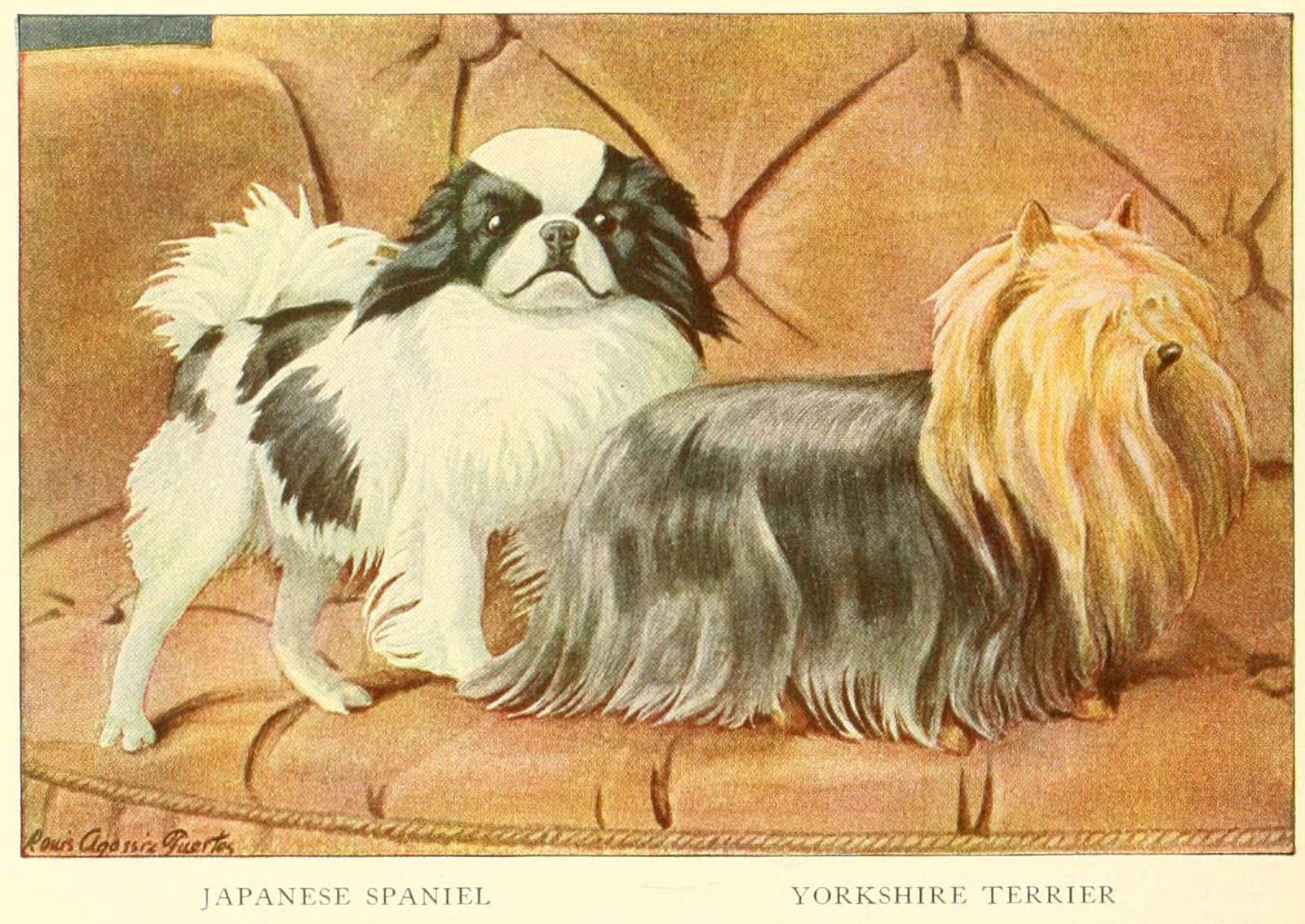 YORKSHIRE TERRIER – Information About Dogs