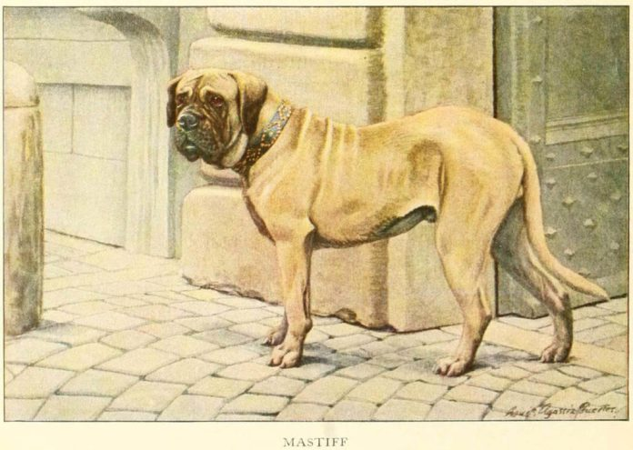 mastiff - information about dogs