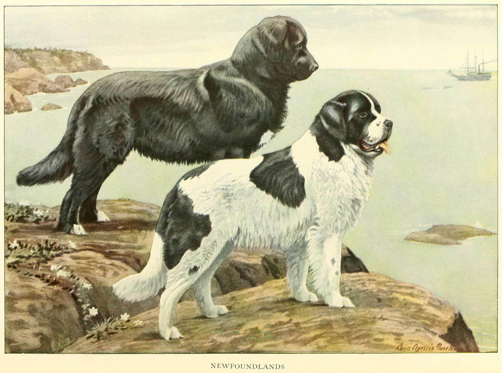 NEWFOUNDLAND DOG BREED – Information About Dogs
