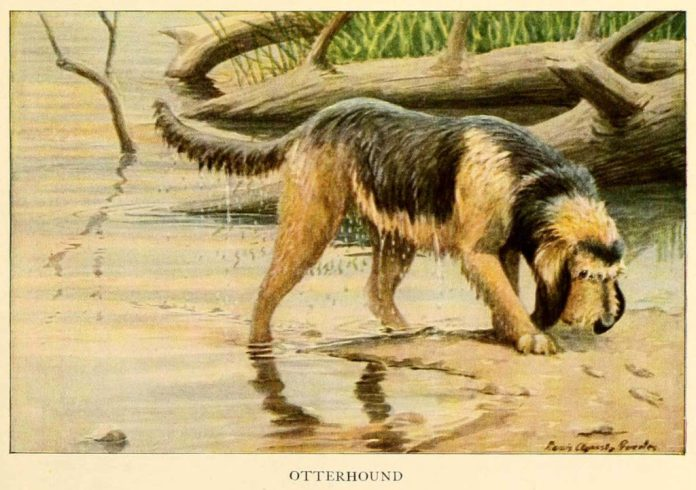 otterhound dog - information about dogs