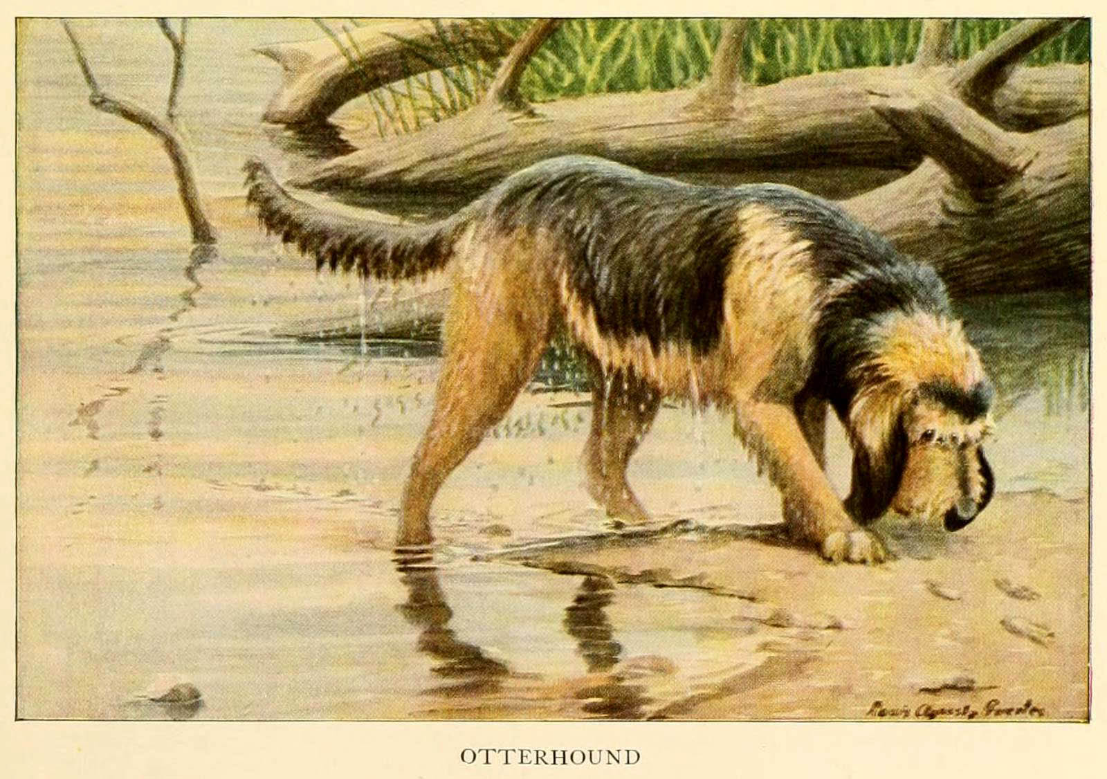 You are currently viewing Otterhound Dog – Information About Dogs