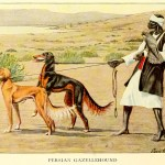 Slughi – Persian Gazellehound – Information About Dogs