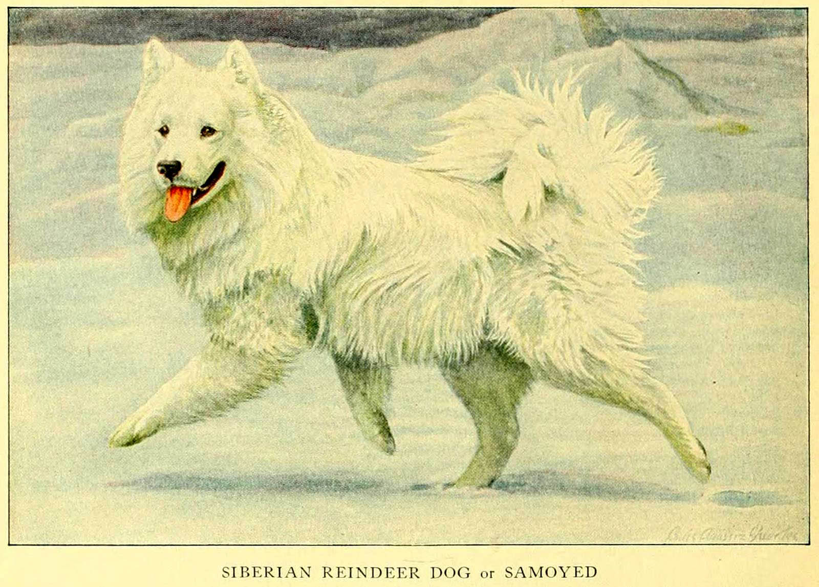 You are currently viewing SAMOYED – Information About Dogs