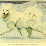 SAMOYED – Information About Dogs