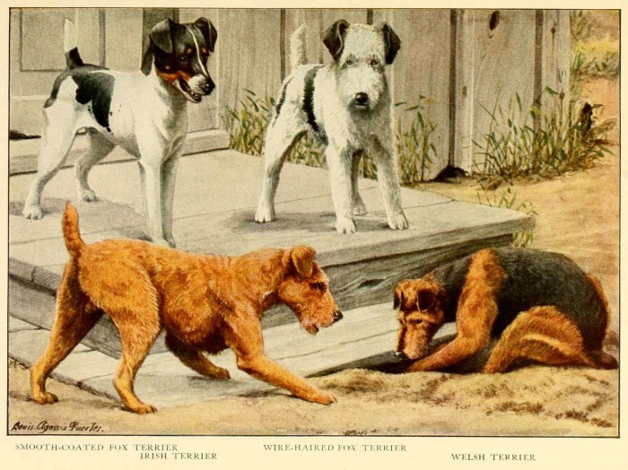 smooth coated fox terrier irish terrier - information about dogs