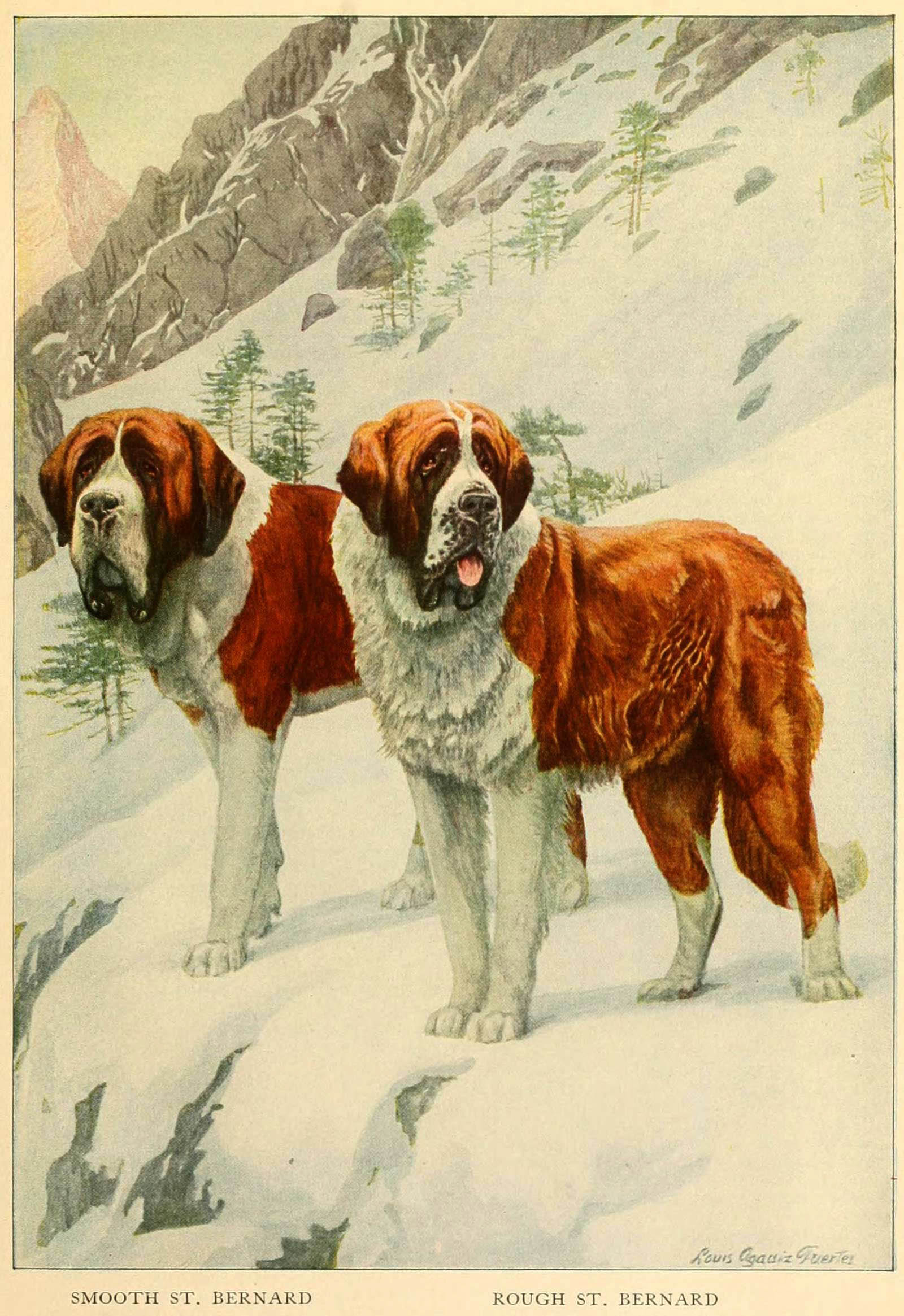 ST. BERNARD DOG BREED – Information About Dogs