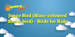 Junco Bird (Slate-coloured Snow-bird) – Birds for Kids