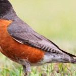 Read more about the article AMERICAN ROBIN – Birds for Kids