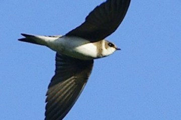 BANK SWALLOW (Sand Martin; Sand Swallow) – Birds for Kids