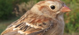FIELD SPARROW – Birds for Kids