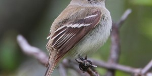 LEAST FLYCATCHER (Chebec) – Birds for Kids