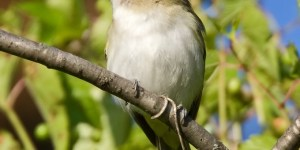 Read more about the article RED-EYED VIREO – Birds for Kids