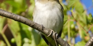 RED-EYED VIREO – Birds for Kids