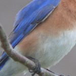 Read more about the article THE BLUEBIRD – Birds for Kids